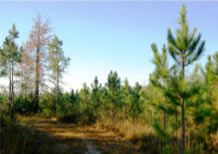Verdura Properties Pine Trees photo